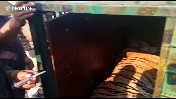 Moment 'man-eater' tiger released into the jungle with a chilling roar