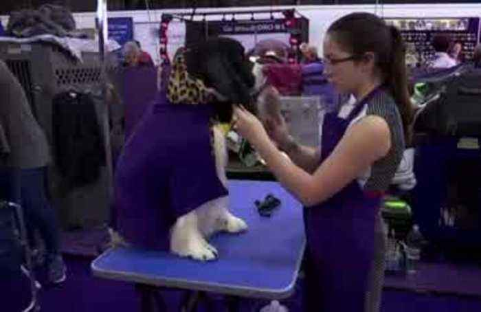 'Man's best friend' gets groomed at Westminster