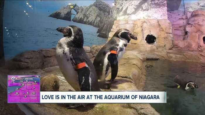 Romance among the penguins at the Aquarium of Niagara