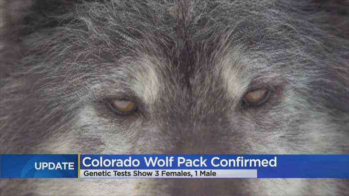 Biologists Collect Samples That Prove Wolves Are In Colorado