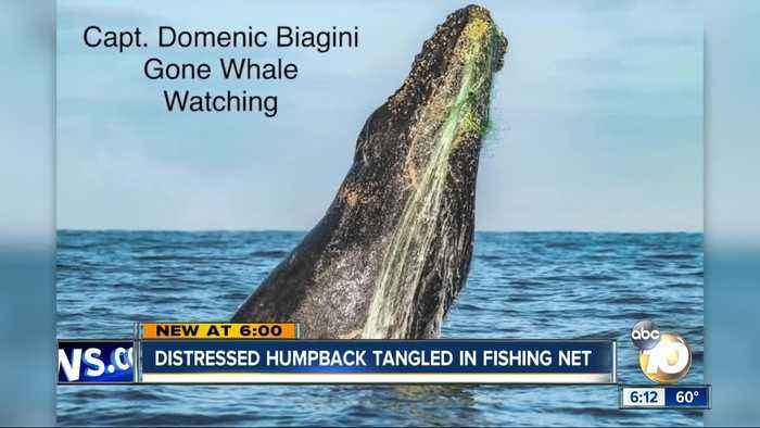 Distressed humpback tangled in fishing net off San Diego's coast