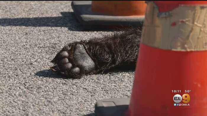 Severed Bear Paw Found Near Santa Clarita Car Dealership
