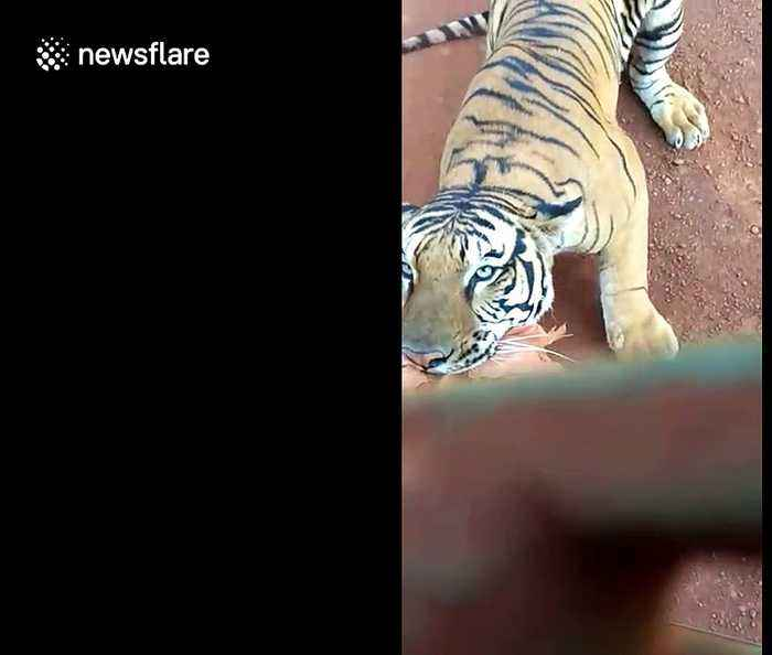 Determined tiger chases after safari bus packed with tourists in central India