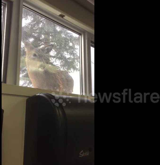 'Like a reverse zoo': Deer peers at students through windows at Canadian university