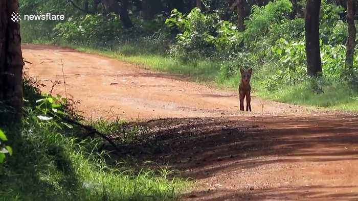 Chilling footage shows leopard ambushing jackal that barely escapes with its life