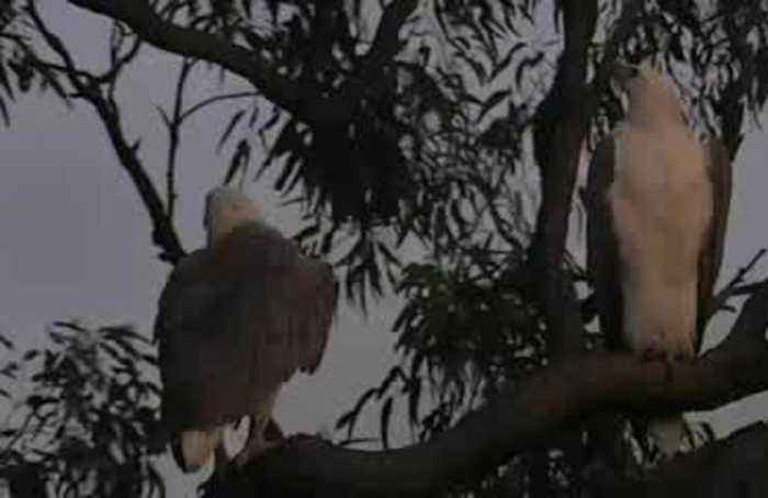 Eagle sweethearts 'serenade' each other in Australian reserve