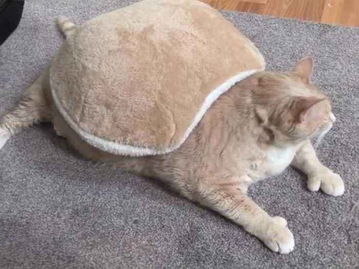 Cat's 'turtle shell' blanket perfectly matches his fur color