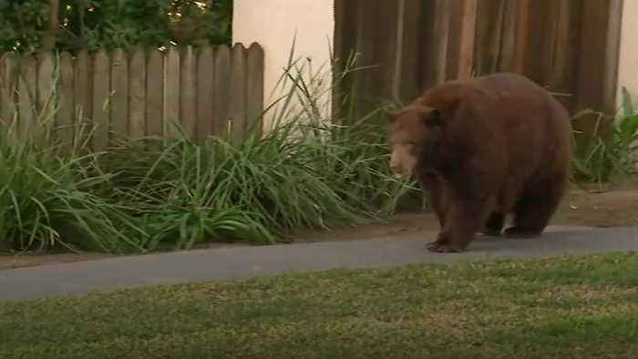 Large bear takes a stroll in Californian suburbs