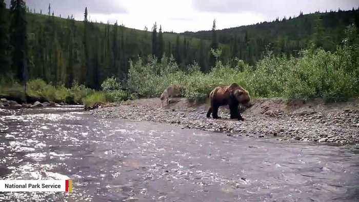 Donald Trump Jr. Gets Permit To Hunt Alaskan Grizzly Bear