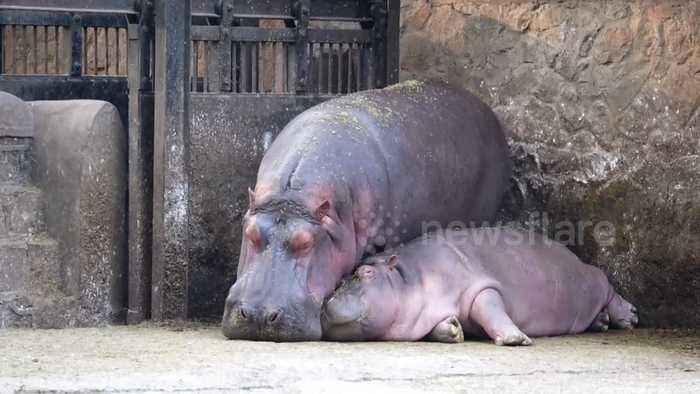 Mama and baby hippo have adorable naptime together