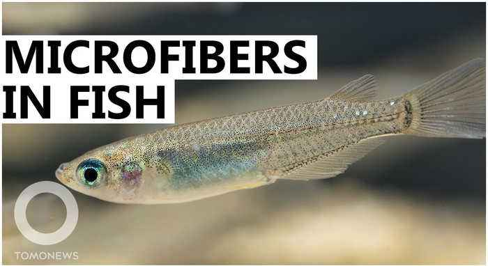 Microfibers found to change fish' reproductive, respiratory systems