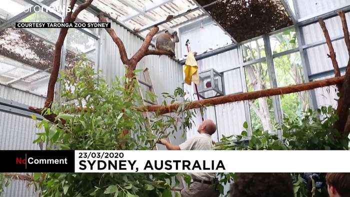 Koalas saved from Australian wildfires released back into natural habitat