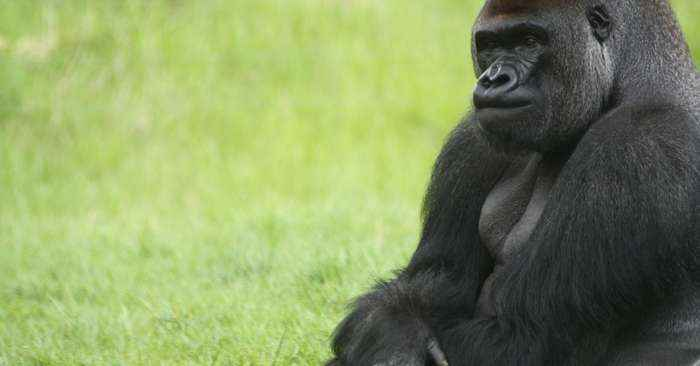 This gorilla escaped from the London Zoo and his reaction shocked everyone