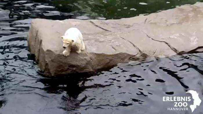 Watch: Mom Helps Hesitant Polar Bear Cub Jump In Water