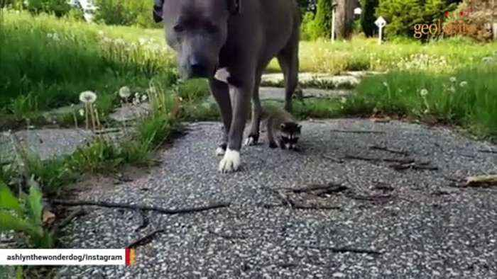These raccoons have the perfect mother. She's a pit bull.