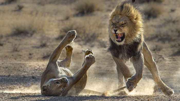 Lion Couple Have a Lover's Tiff As Lioness Swipes At Male