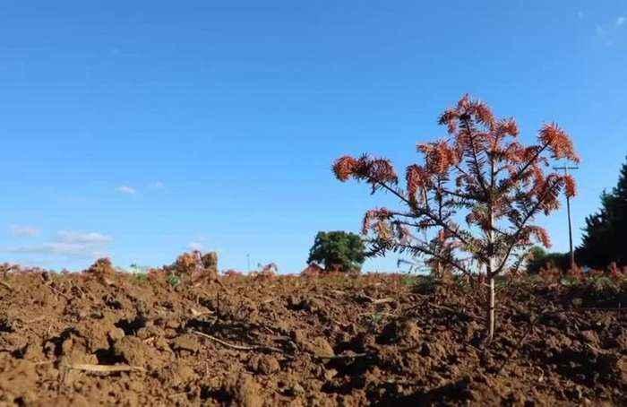 Extreme heat roasts Christmas trees in Oregon