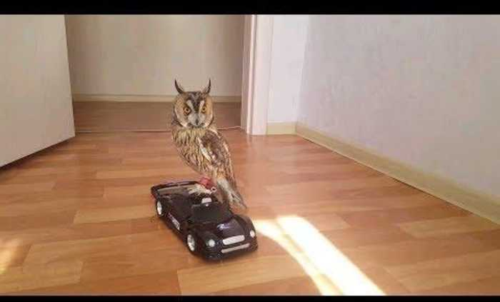 News video: Owl Rides Toy Car in House