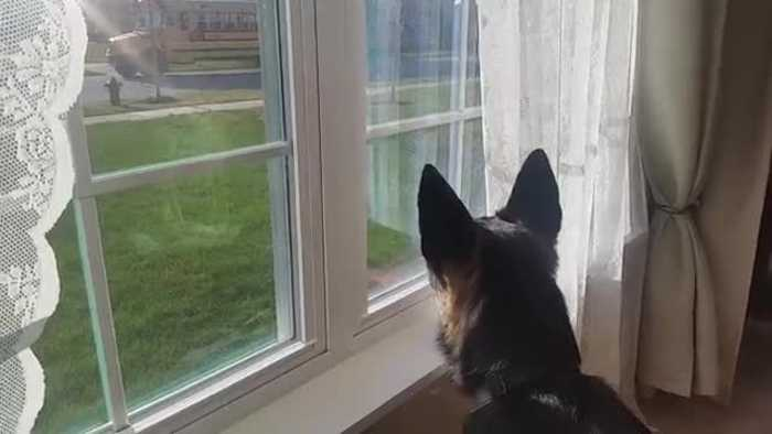 News video: German Sheperd Whines when His Humans Go to School