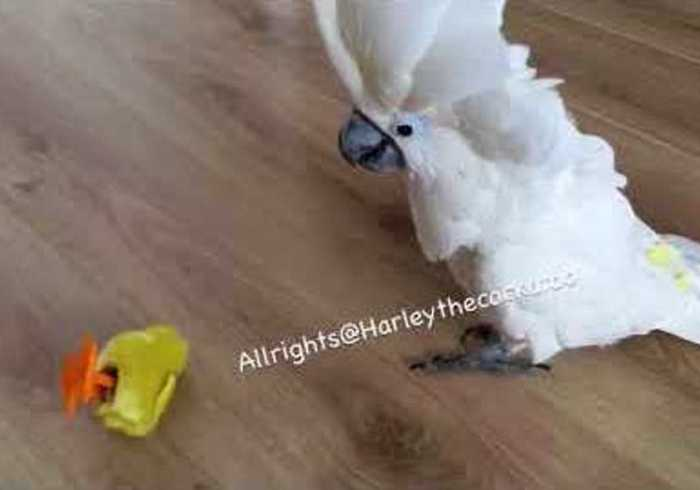 News video: Harley the Cockatoo Destroys Fake Chicks