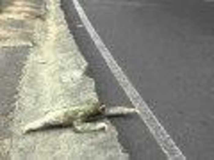 News video: Three-Toed Sloth Crosses Road in Costa Rica