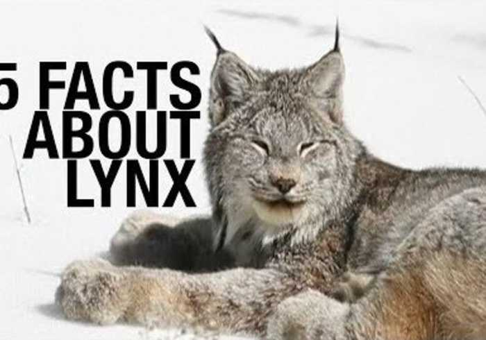 News video: Five Fascinating Facts About Lynx