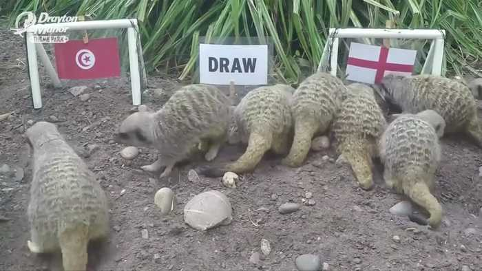 News video: Meerkats return to predict England victory over Tunisia