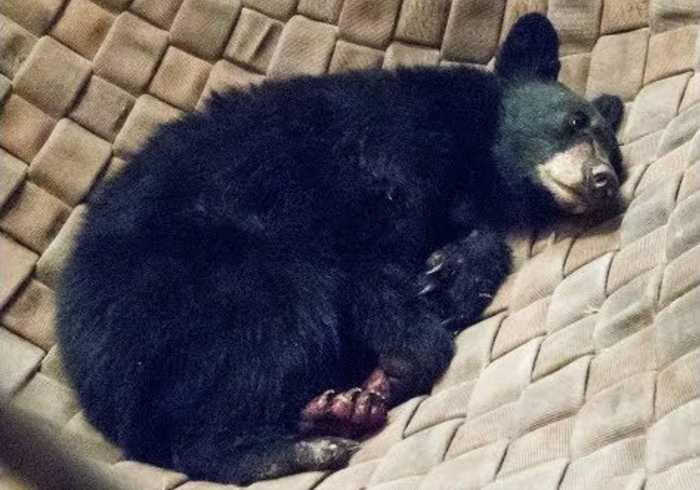 Bear Cub Burned in California's Carr Fire Has Wounds Treated With Fish Skins