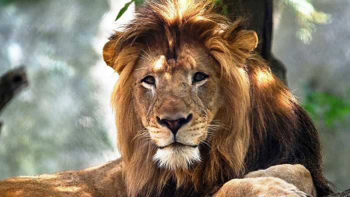 USA: Indianapolis Zoo staff 'devastated' after lion killed by lioness