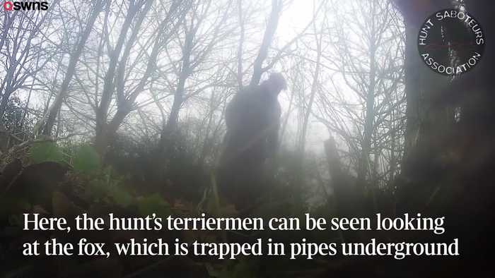 Hunters drag fox out hole to be hunted by hounds