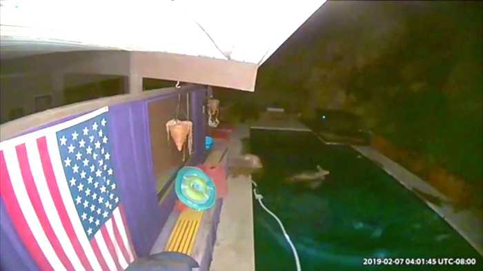 Video Shows Mountain Lion Chase Deer Into Backyard Pool of California Home