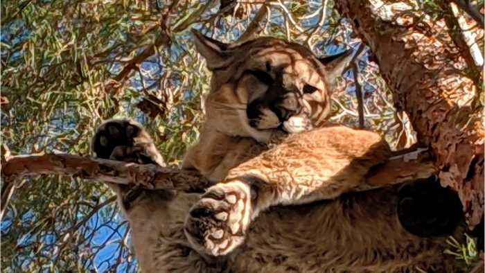 California Cougar Climbs Tree In Hesperia Backyard
