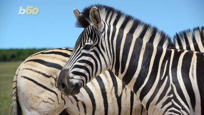 Why Do Zebras Have Stripes? Scientists Dressed Up Horses Likes Zebras to Find Out