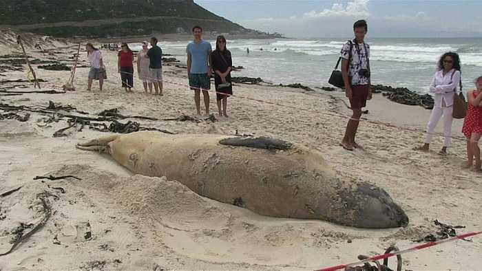 Elephant seal travelled across 6500kms to stay on beach in South Africa