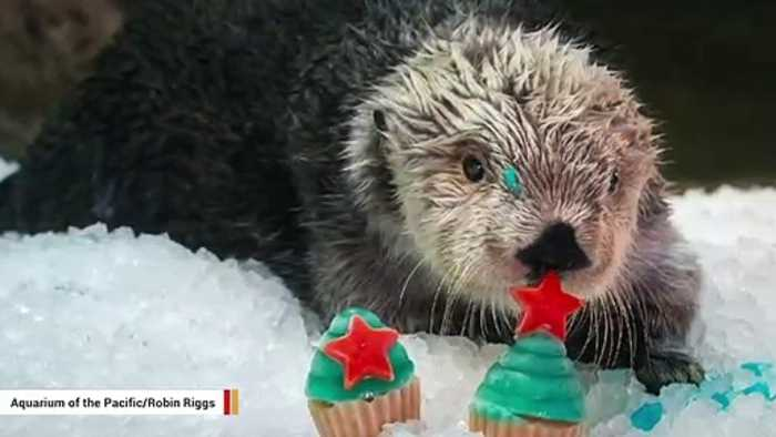 Meet Charlie, The Oldest Known Sea Otter In Captivity