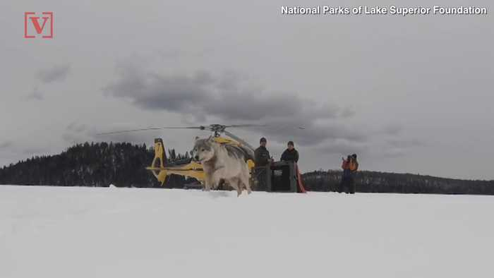 Wolves Air-Dropped into National Park to Limit the Moose Population