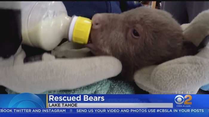 Bear Cubs Get Help Learning To Be Self-Sufficient From Human Caretakers