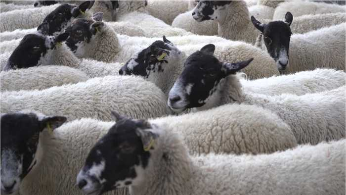 Baby Lamb Created With World's Oldest Stored Semen