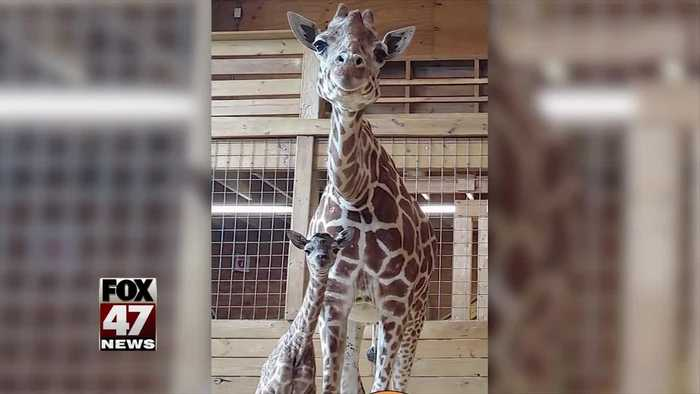 April the Giraffe welcomes new baby