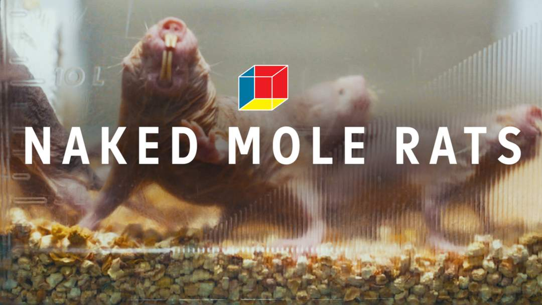Naked mole-rats can go without oxygen for 18 mins by