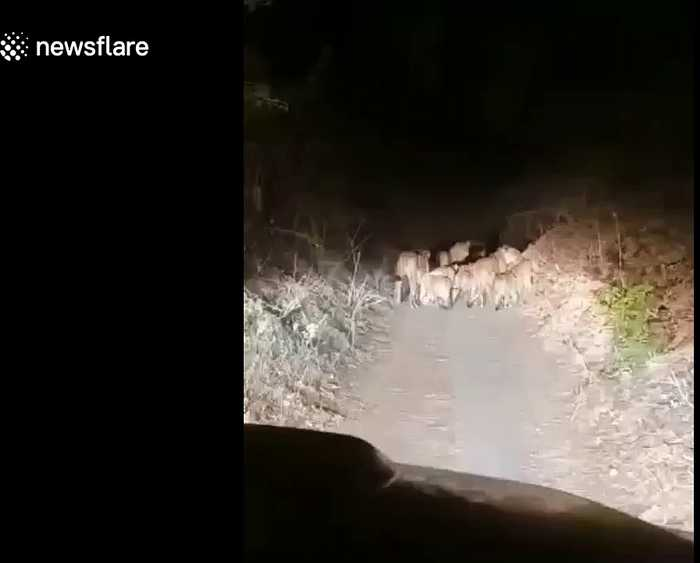 Outrage in India as pride of lions is harassed in reckless car chase