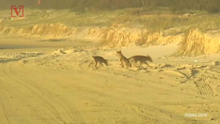 Father Rescues Infant Son From Dingo's Jaws on Australian Tourist Island