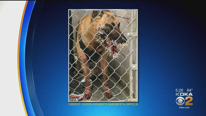 Sheriff's K-9 Recovering After Porcupine Attack