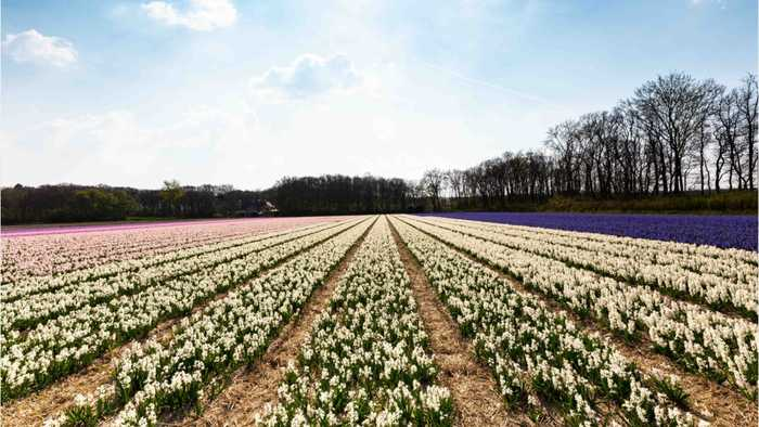 Selfie-Taking Millennials Are Killing Dutch Tulip Fields