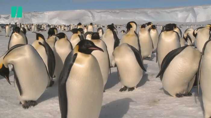 Antarctica Penguin Breeding Ground Succumbs To Climate Change