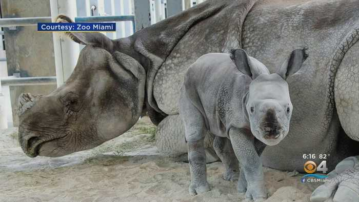 Zoo Miami's Ron Magill On Historic Indian Rhinoceros Birth