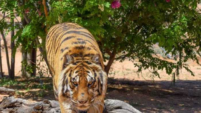 Former Las Vegas illusionist attacked by tiger