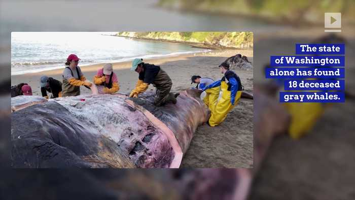 Rate of Gray Whale Deaths Rises on the West Coast