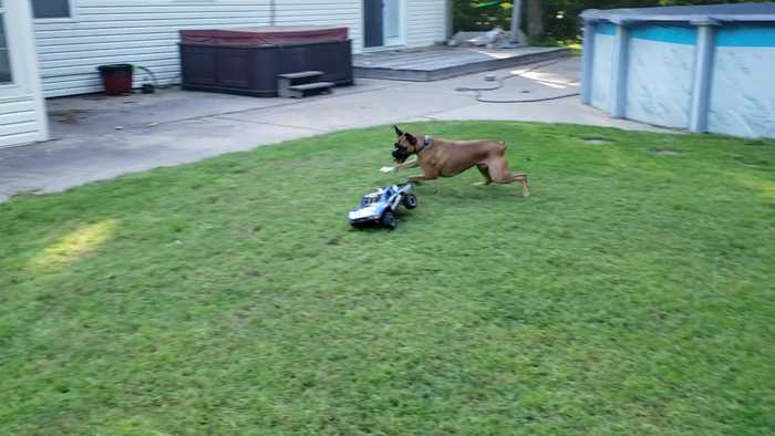 RC Toy Tries to Tire out the Pooch