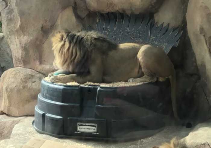 Lion at Denver Zoo Claims the Iron Throne on His Birthday